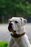 White bulldog portrait Royalty Free Stock Image