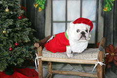 White Bulldog with a santa hat and beard Royalty Free Stock Photo