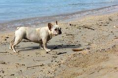 White bulldog on the seaside. So fun Royalty Free Stock Photos