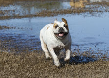 White bulldog smiling and running Royalty Free Stock Images