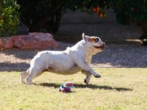 Bulldog stretched out in a run. White bulldog stretched out while in a full run on the grass Stock Photography