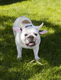 White bulldog wearing cow ears and horns Stock Photo