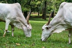 White bulls Royalty Free Stock Photo
