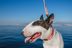 White Bullterrier dog Royalty Free Stock Photography