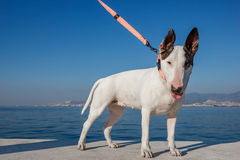 White Bullterrier standing Royalty Free Stock Photo