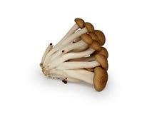White buna-shimeji mushroom Stock Images