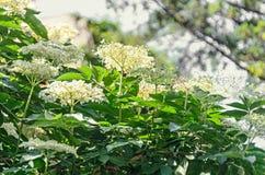 White bunch flowers of Sambucus, green leafs shrub. Stock Photo
