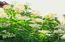White bunch flowers of Sambucus, green leafs shrub. Royalty Free Stock Images