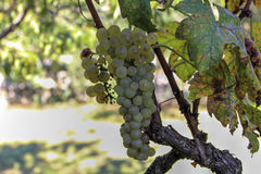 White bunch of grapes Royalty Free Stock Photography