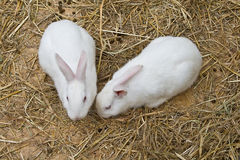 White bunnies Stock Image
