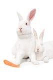 White Bunnies On White Royalty Free Stock Photo