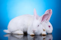 White bunnies playing Stock Image