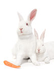 White bunnies on white. White bunnies isolated on white whit a carrot Royalty Free Stock Photo