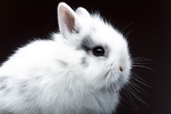White bunny. Profile of white rabbit on black background Stock Photos