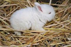 White bunny. A baby white rabbit sleeping Stock Photography