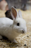 White bunny Stock Photo
