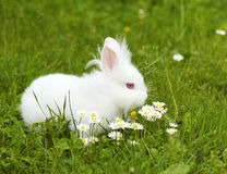 White bunny. Dwarf white bunny in green grass royalty free stock photos