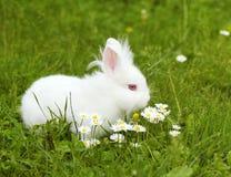 White bunny Royalty Free Stock Photos