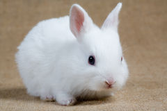 White bunny. Looking right, isolated stock photos