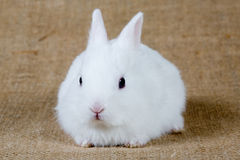 White bunny. Looking left, isolated royalty free stock images