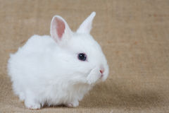 White bunny. Looking right, isolated royalty free stock photos