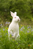 White bunny. And blue flowers royalty free stock images