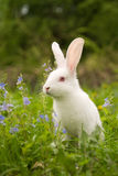 White bunny. And blue flowers royalty free stock photography