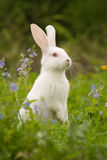 White bunny. And blue flowers stock photos