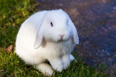 White bunny with blue eyes sitting. Horizontal photo of a white bunny rabbit with blue eyes sitting on green grass by a stream Royalty Free Stock Photo