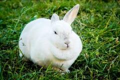 White bunny Stock Image