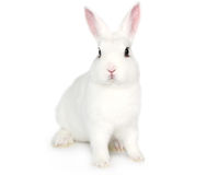 White Bunny isolated on white. Cute white fluffy Bunny isolated on white background stock photos