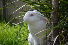The White Bunny. Our pet rabbit 'Snowy' in the garden having fun Stock Photo