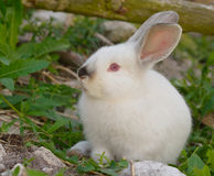 White bunny rabbit in green grasses. White bunny rabbits sitting on rocky ground with green grasses on sunny day Royalty Free Stock Photos