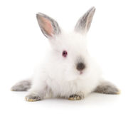 White bunny rabbit. Stock Photos