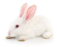 White bunny rabbit. Stock Photos