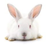 White bunny rabbit. Stock Images