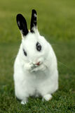 White Bunny Rabbit Outdoors in Grass Royalty Free Stock Photos