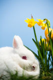 White bunny rabbit sitting beside daffodils with easter eggs Stock Image