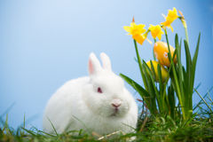 White bunny sitting beside easter eggs resting in daffodils Royalty Free Stock Photos
