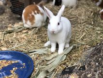 White Rabbit with other bunnies and guinea pigs in cage. White bunny staring waiting to be fed Stock Image