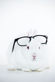 White bunny wearing human glasses on its head Royalty Free Stock Image