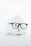 White bunny wearing human glasses Royalty Free Stock Images