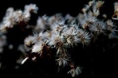White bur flower Stock Photo