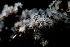 White bur flower. In the forest on the black background, looks like dandelion Stock Photo
