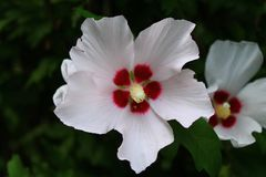 White and burgundy hibiscus flowers stock photography