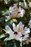 White and burgundy rhododendron flowers. Beautiful blooming Royalty Free Stock Photography