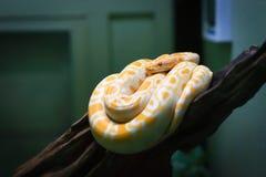 White Burmese python, monocellate Burmese python Stock Image