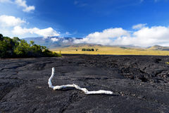 White burnt tree branch on rough surface of frozen lava after Mauna Loa volcano eruption on Big Island, Hawaii Stock Images