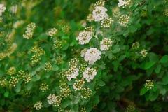 White bush Royalty Free Stock Image