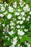 White bush flowers Royalty Free Stock Image